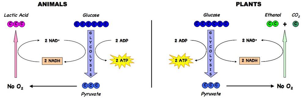 37 cell respiration bioninja anaerobic respiration ccuart Gallery