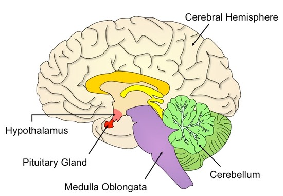 The Right Side Of Brain Diagram With Labels Online Schematic Diagram