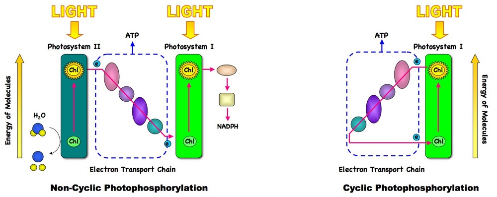 8 2 photosynthesis