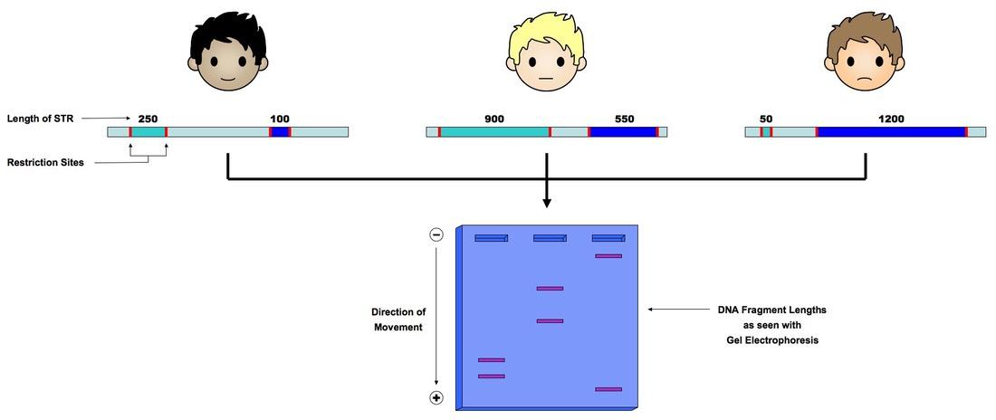 4 4 Genetic Engineering and Biotechnology | BioNinja