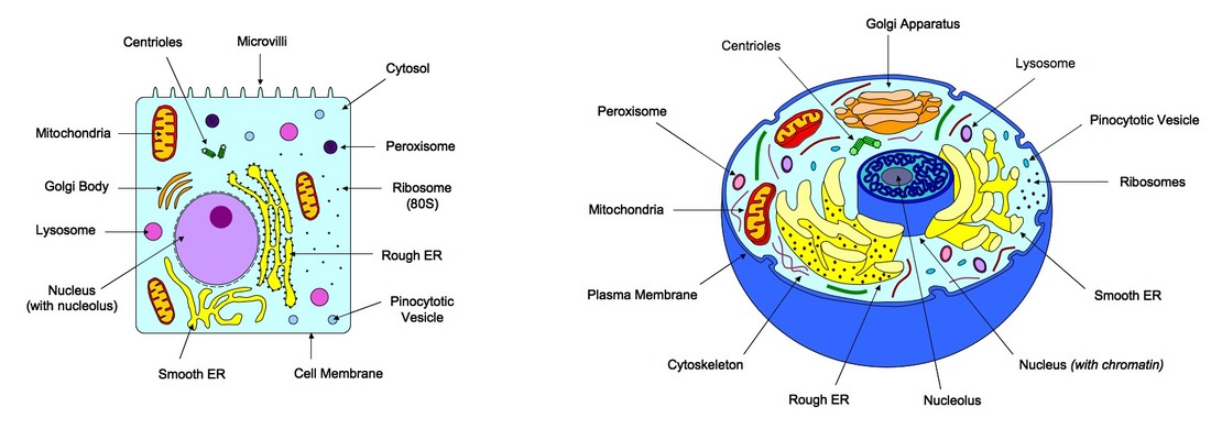 2 3 eukaryotic cells bioninja rh old ib bioninja com au eukaryotic plant cell diagram labeled Simple Eukaryotic Cell Diagram Unlabeled