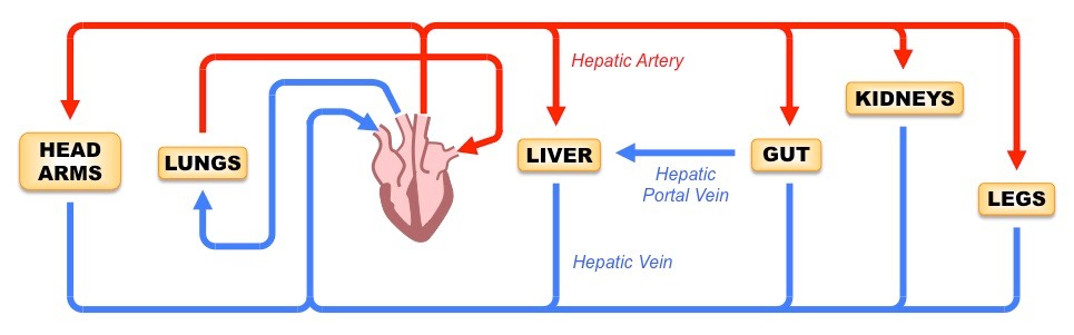 H4 Functions of the Liver | BioNinja