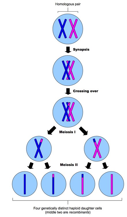 What Is The Meaning Of Crossing Over In Meiosis