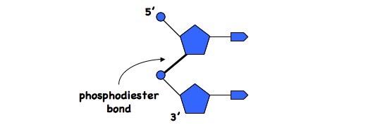 3 3 Dna Structure Bioninja