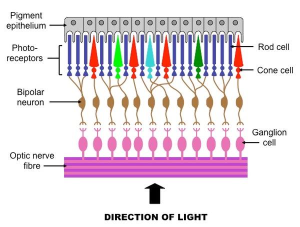 E2 Perception Of Stimuli Bioninja