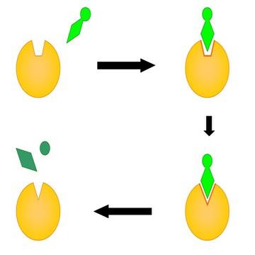 36 Enzymes Bioninja